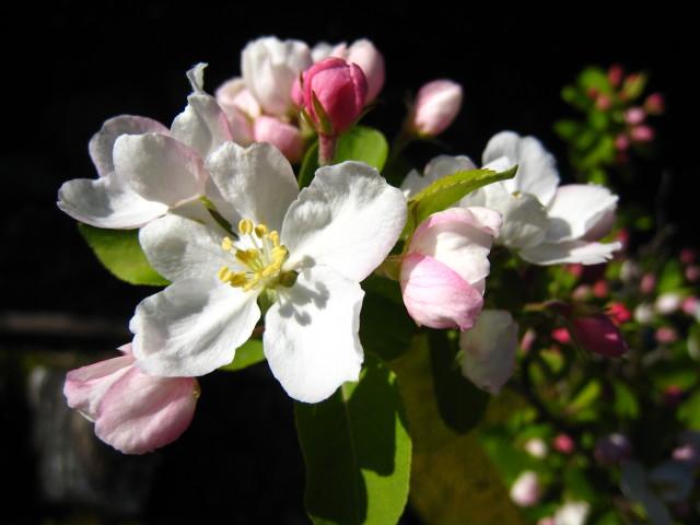 ヒメリンゴ 開花